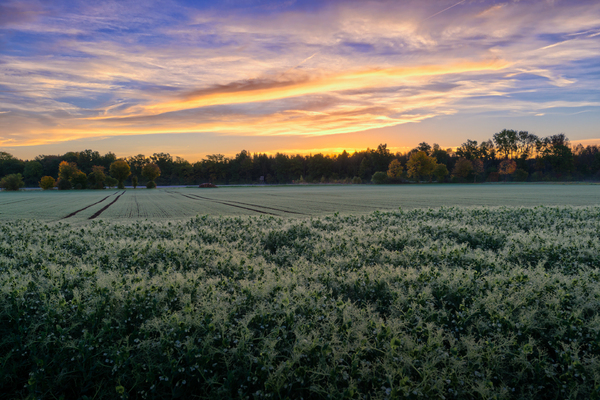 Sunrise on Fields: Sunrise on Fields with Forest in Background - Autumn