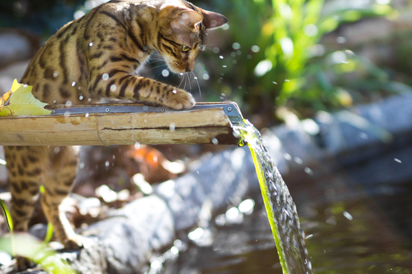 Bengal Cat playing with Water: Young Bengal Cat playing with Water at the Pond. Very shallow DOF with 85mm at f/1,4