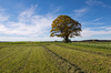 Single Oak Tree in Fields