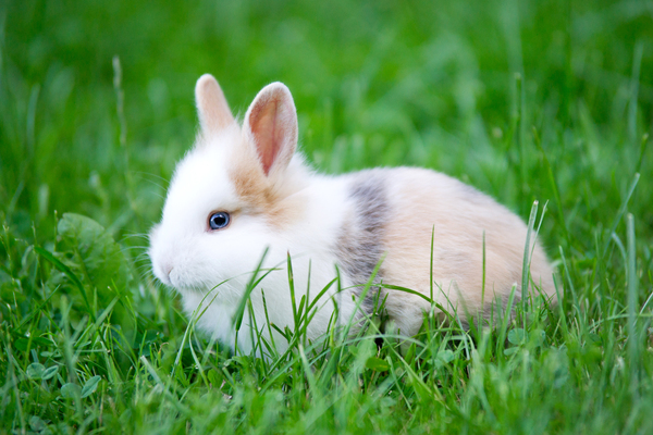 Baby Rabbit - blue Eyes: Baby Rabbit with blue Eye looking through Grass