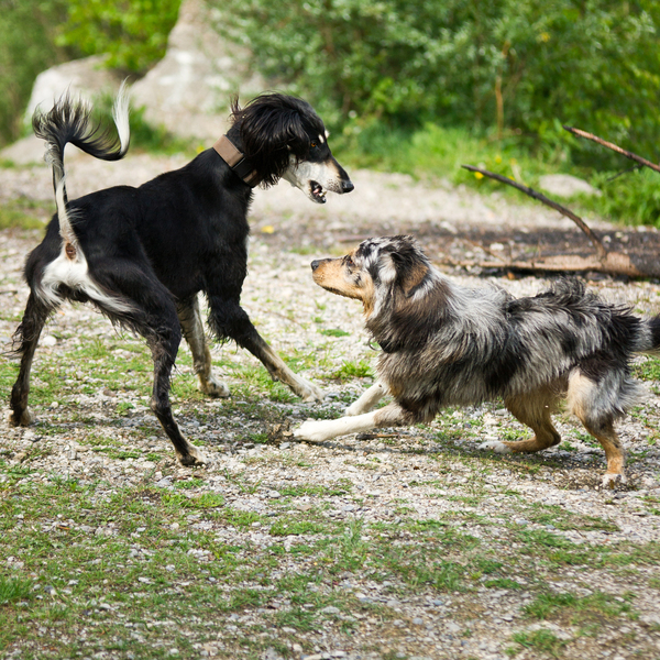 Dogs playing: Two Dogs playing wildly