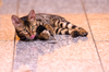 Bengal Kitten lying on Floor p
