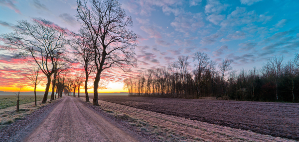 Dirt Road with Maple Trees in : Dirt Road with Maple Trees in Winter at Sunrise, Fluffy Clouds
