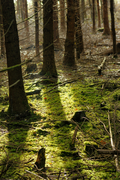 Natural Forest Ground: Mossy Ground of Natural Spruce Forest, misty, shallow DOF.