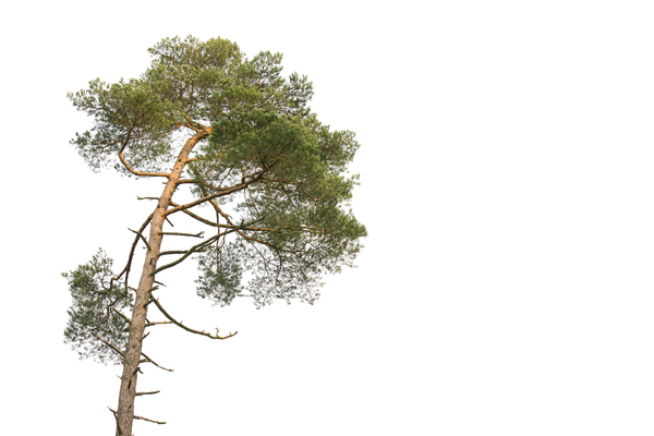 Scots Pine: Scots Pine - Pinus sylvestris on white Background