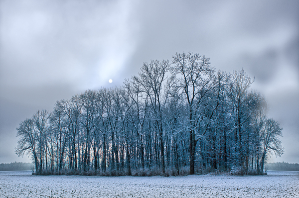 Foggy Winter Landscape: Group of Trees in snowy Fields, Sun shines through Fog