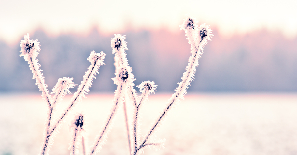 Ice Crystals on Plants: Frozen Moisture on herbal Plants