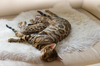 Bengal Cat and Kitten sleeping