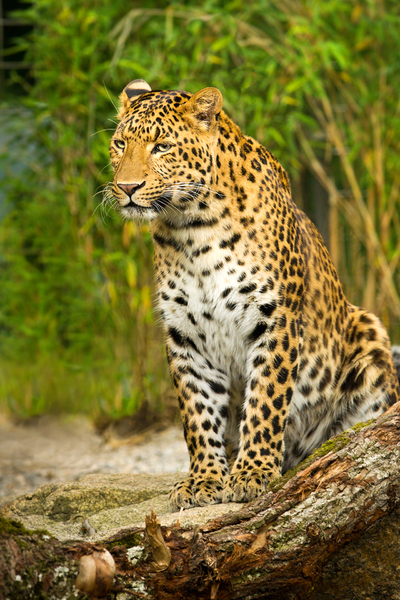 Leopard sitting on a Rock: Leopard sitting on a Rock, Bambus Jungle