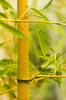 Yellow Bamboo - Phyllostachys