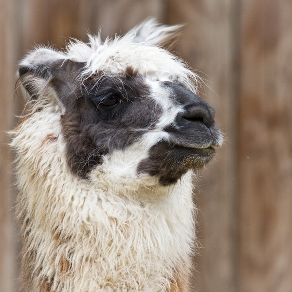 Bad Hair Day - Alpaca: Bad Hair Day - Alpaca