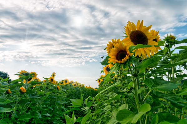 Sunflower Field: Sunflower Field at overcast Weather