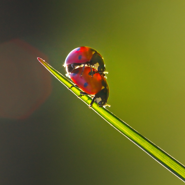 Ladybug Love: Couple of Ladybugs making Love on Spring Grass
