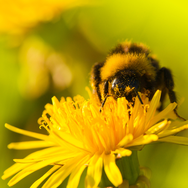 Bumblebee on Dandelion Flower: Bumblebee collecting Pollen on Dandelion Flower - Sring