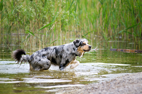 Australian Shepherd playing in: Australian Shepherd playing in Water, looking attentive towards Viewer