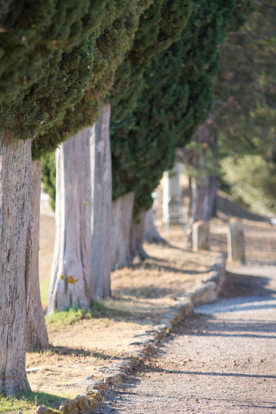 Cypress Trees in a Row: Lovely old Cypress Trees in a Row, along a Country Road