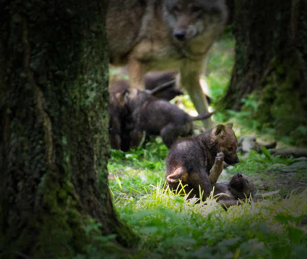 Wolf Babies: Wolf Babies in Forest, playing in a little Spot of Sunlight. Mother Wolf attentively watching.