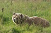 Brown Bear relaxing in the Gra