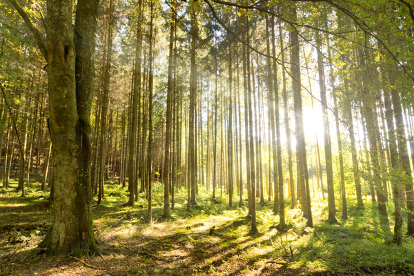 Morning Sun in Forest: Morning Sunlight shines into Forest, slightly misty Atmosphere