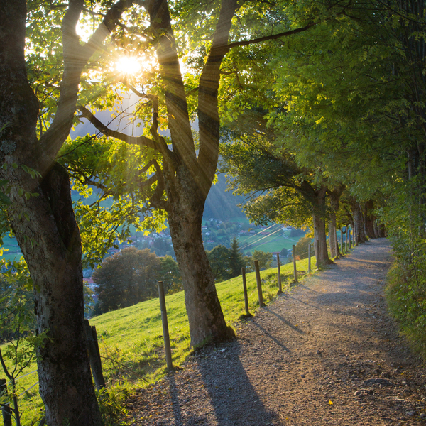 Sycamore Trees on Mountain Pat: Sun shining through Sycamore Trees on Mountain Path, Bavarian Alps at Schliersee, Germany