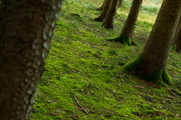 Vivid green Moss between old T: Old Trunks of Spruce Trees with fresh green Moss on the Ground