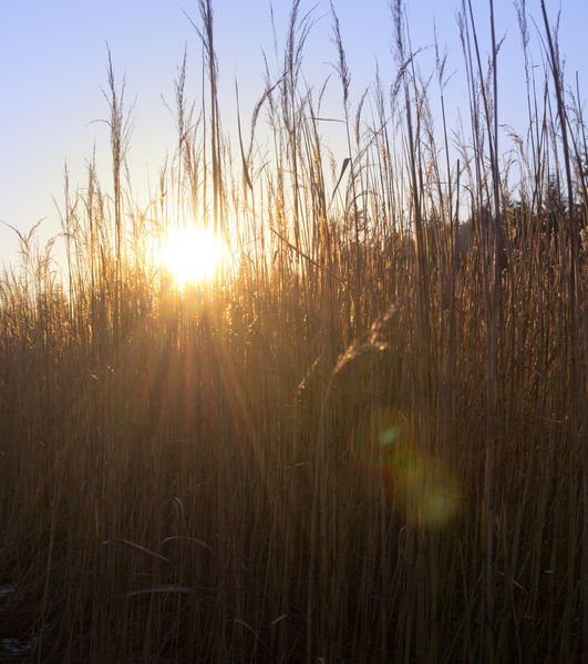 Sun shining through dry Reeds: Winter Sun shining through dry Reeds