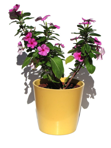blooming pot: catharanthus roseus