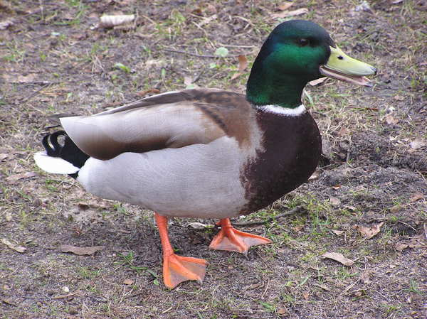Mallard duck: A duck walking