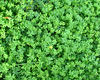 groundcover greenery1