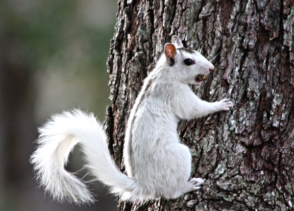White Squirrel: I took this picture in Florida, where white squirrels are common.