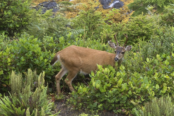 White Tailed Deer Vancouver Island