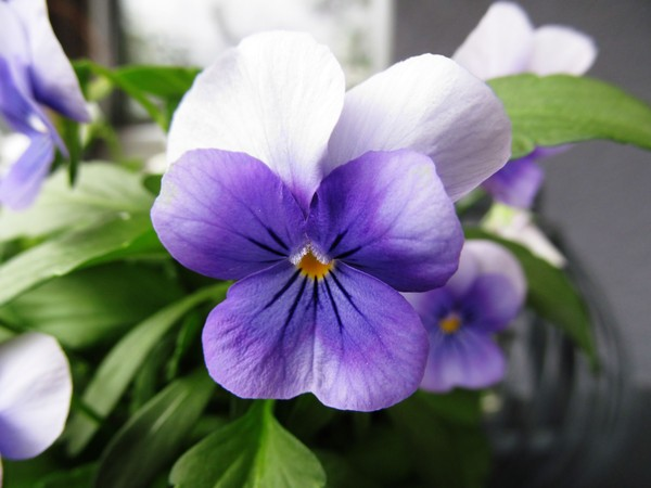 blue pansies: none