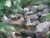 Tiger Relaxing in the Stream