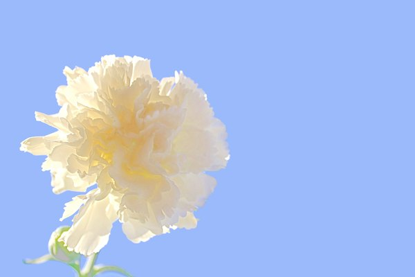 White Carnation and Sky: A backlit white carnation against a bright blue sky.