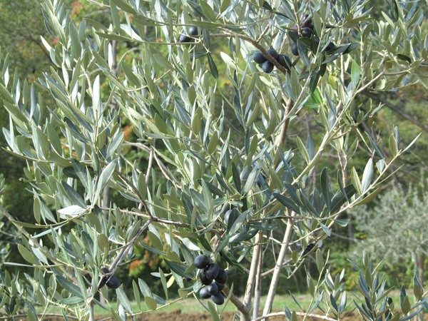 black olives tree: none
