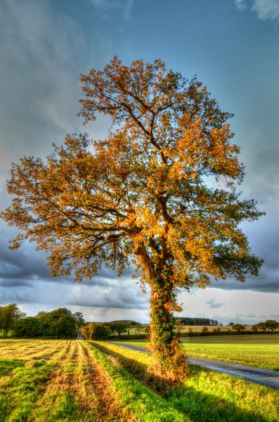 Autumn oak tree: Sun came out and lit this lovely old oak tree in its autumn splendour!