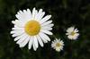 marguerites