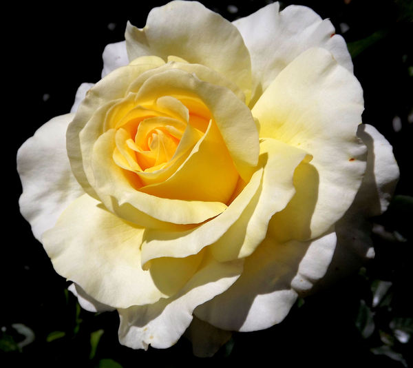 golden centred4: delicate gold centred white garden rose