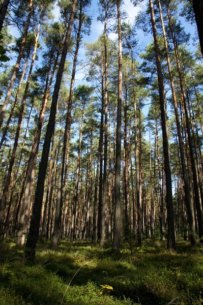 forest: pine tree forest in Poland