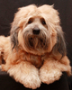Tibetan Terrier Dog 4
