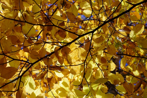 Texture - Autumn beech: Beech tree with autumn coloured leafs