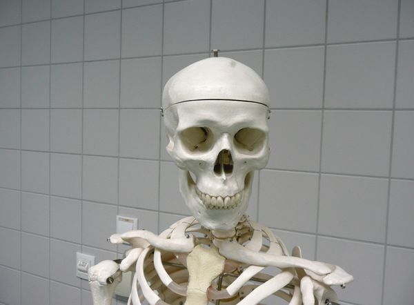 Skeleton: Head and shoulders of a skeleton model