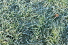 Frosty winter grass in sunshin