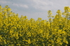 Rapeseed