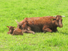 red cattle 2