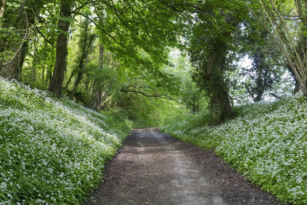 Wild garlic woodland: Woodland with banks of wild garlic (Allium ursinum) in flower in West Sussex, England, in spring.