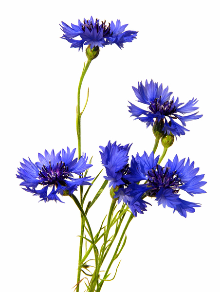 Cornflowers: no description
