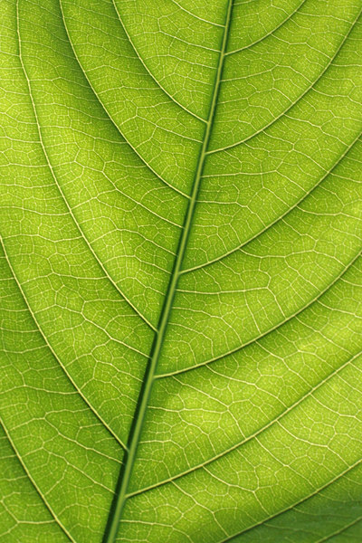 Natural Highways 1: A close view to a leaf shows something similar to city streets.
