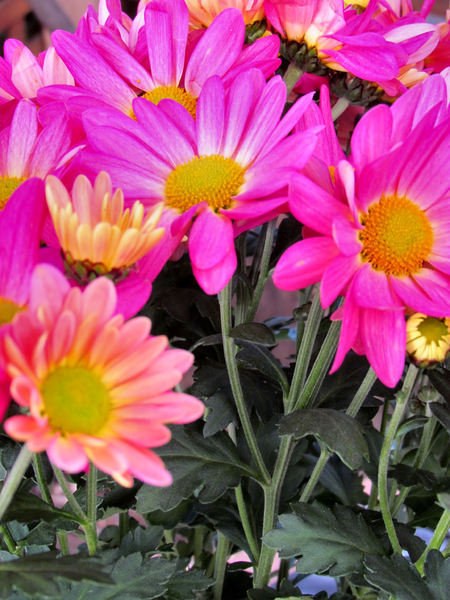 colourful chrysanthemums6: Mother's Day flower pot of varied coloured chrysanthemums
