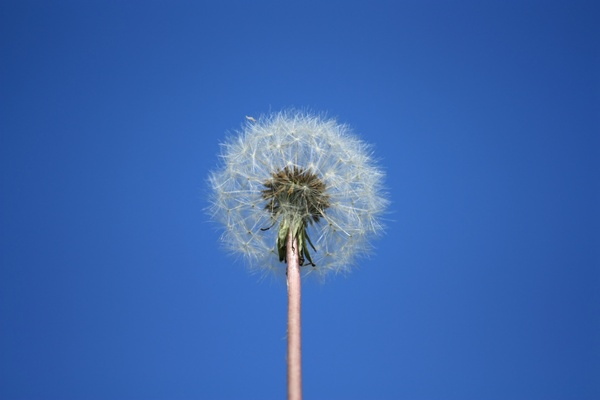 Dandelion against blue sky: Dandelion seed head isolated against blue sky